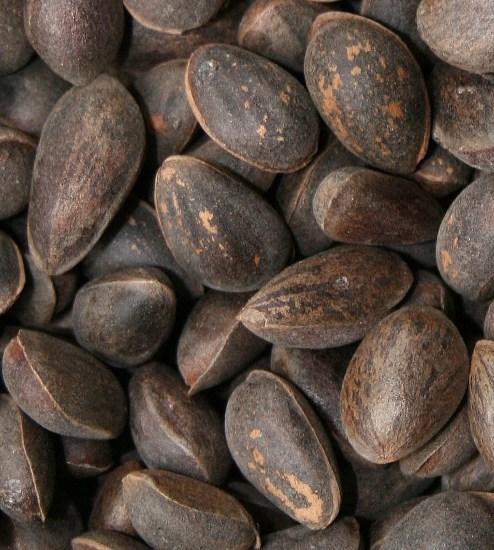 chilenische honigpalme kaufen günstig